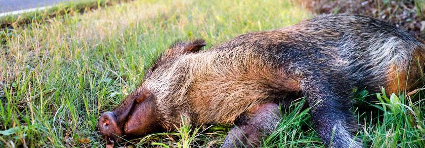 Wenn Wildtiere die Fahrbahn kreuzen: Das ist zu tun! So verhalten Sie sich nach einem Wildunfall.