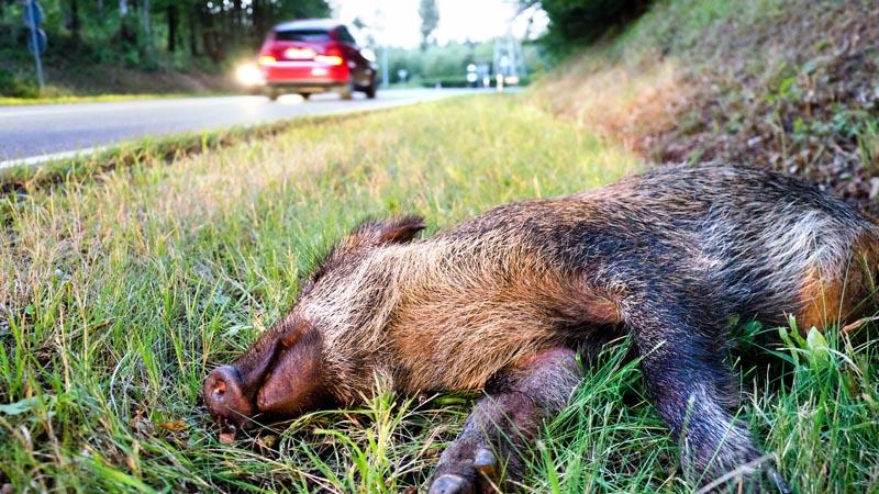 So verhalten Sie sich, wenn plötzlich ein Wildtier die Straße kreuzt.
